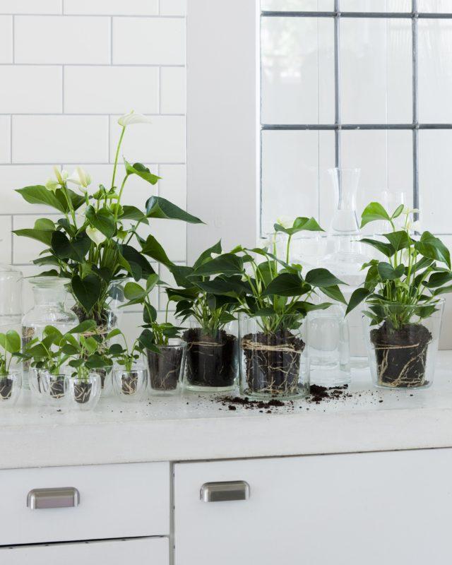 anthurium info alles ber anthurium topfpflanzen und. Black Bedroom Furniture Sets. Home Design Ideas