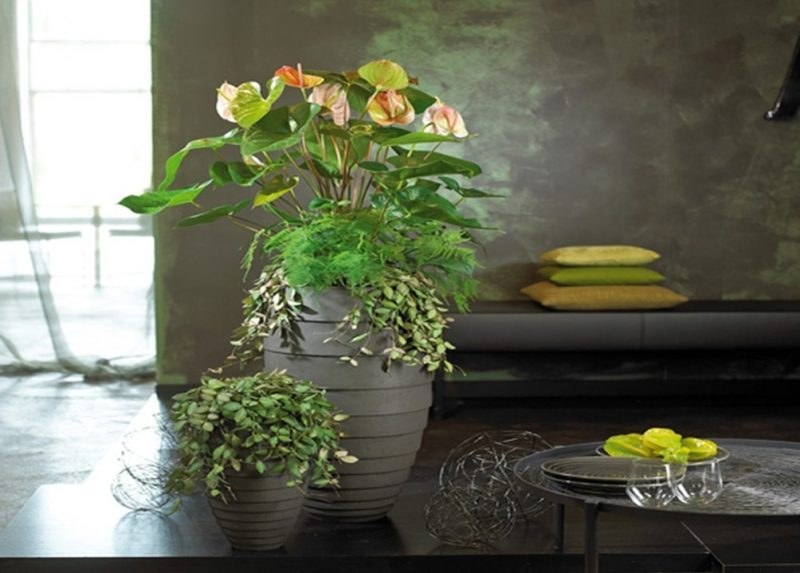 revival der anthurien von elegant bis cool anthurium. Black Bedroom Furniture Sets. Home Design Ideas