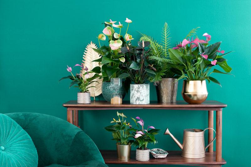 """Ein besonderes, exotisch wirkendes Arrangement stellen Sie ganz leicht selbst her. Stellen Sie dafür die allerschönsten Anthurienpflanzen in unterschiedlichen Töpfen auf eine schöne Kommode oder ein Sideboard. Oder Sie entfernen die Blumenerde von den Pflanzenwurzeln und stellen die Anthurie auf einen Beistelltisch. Es gibt Hunderte Anthuriensorten und unzählige Stylingmöglichkeiten - wählen Sie einfach aus! Mit diesen lebendigen Kunstwerken verleihen Sie dem Interieur einen farbenfrohen, exotischen """"Look"""" und lassen den Herbst aufblühen. Zusammen wirken! Ein passendes Ensemble zum Trend """"Exotic Botanique"""" kreieren Sie durch das Zusammenstellen der allerschönsten Topf-Anthurien in unterschiedlichen Gefäßen auf einer schöne Kommode oder einem Sideboard. Sie haben eine große Auswahl - aus bis zu 600 Sorten! Dieses Arrangement können Sie lange Zeit genießen, denn unter allen Zimmerpflanzen ist die Anthurie die mit der längsten Blütezeit."""