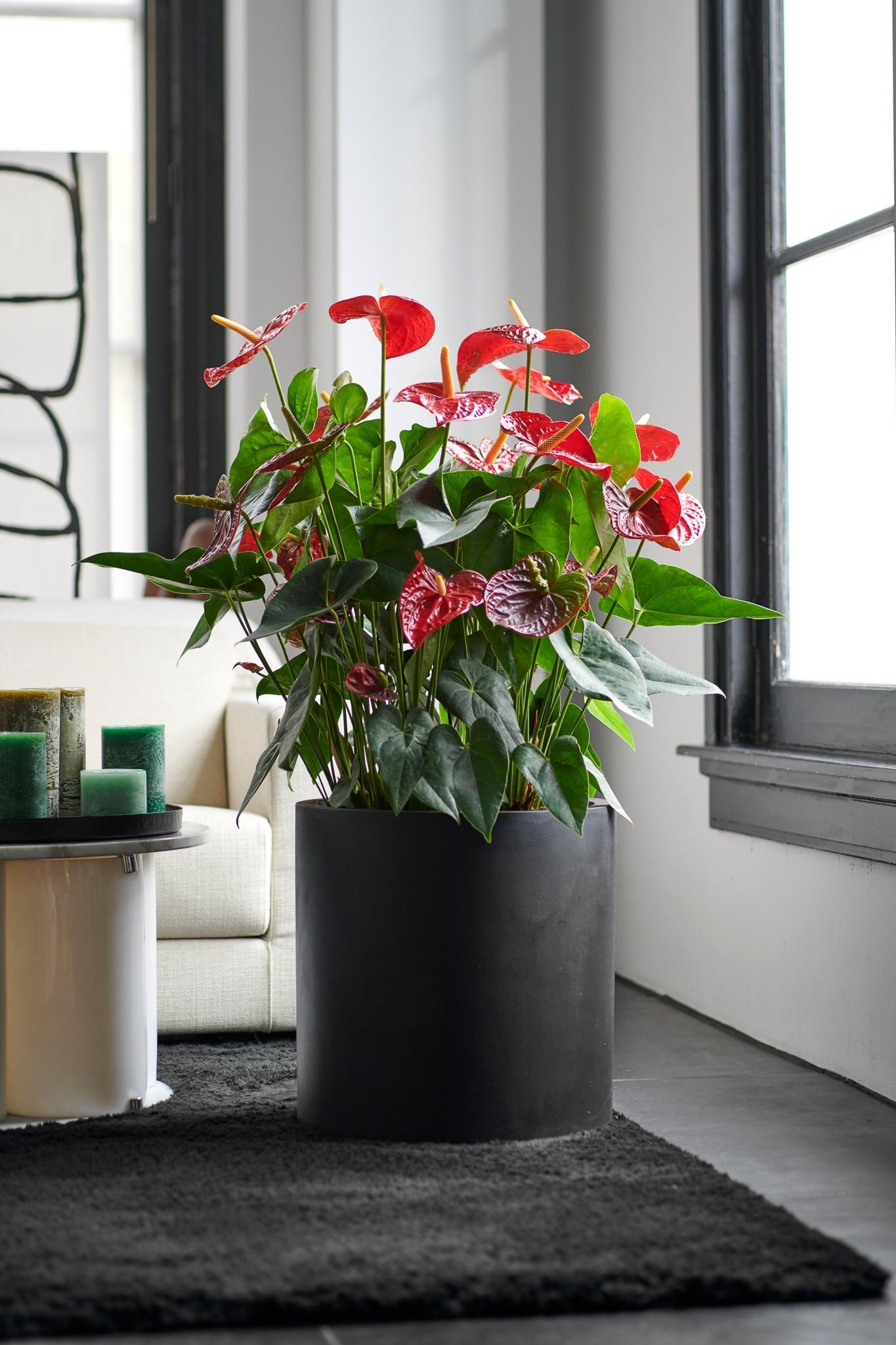 Tschüss Weihnachtsbaum, hallo Anthurien Topfpflanze!