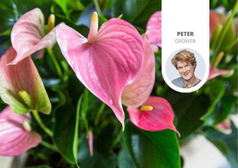 Wie bringen Sie eine Anthurie wieder zum Blühen?