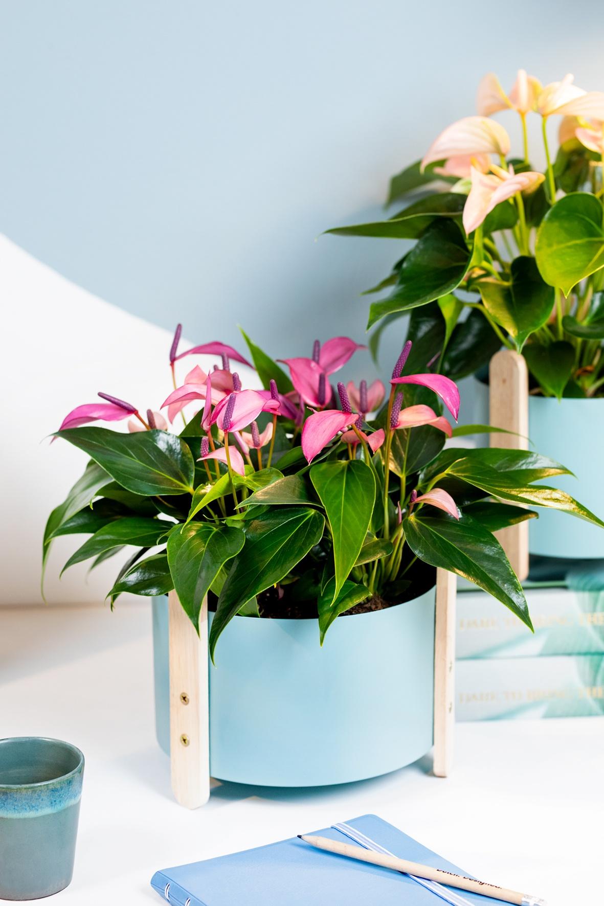 Anthurie: die ideale Zimmerpflanze für den Arbeitsplatz