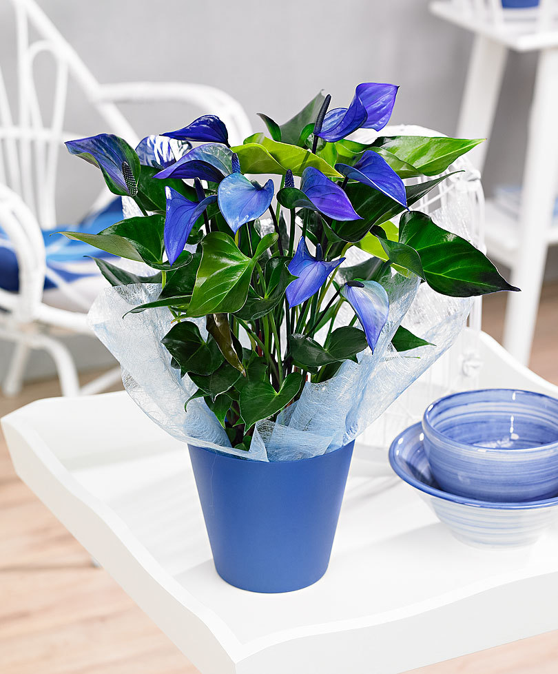 Bringing city jungle to your home with blue anthuriums anthurium izmirmasajfo