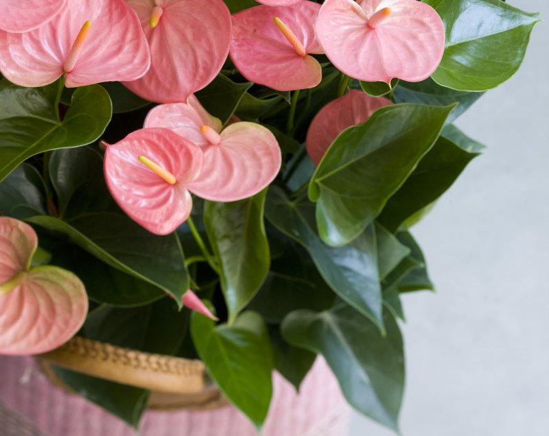 What to do if the leaves of your Anthurium become discoloured?