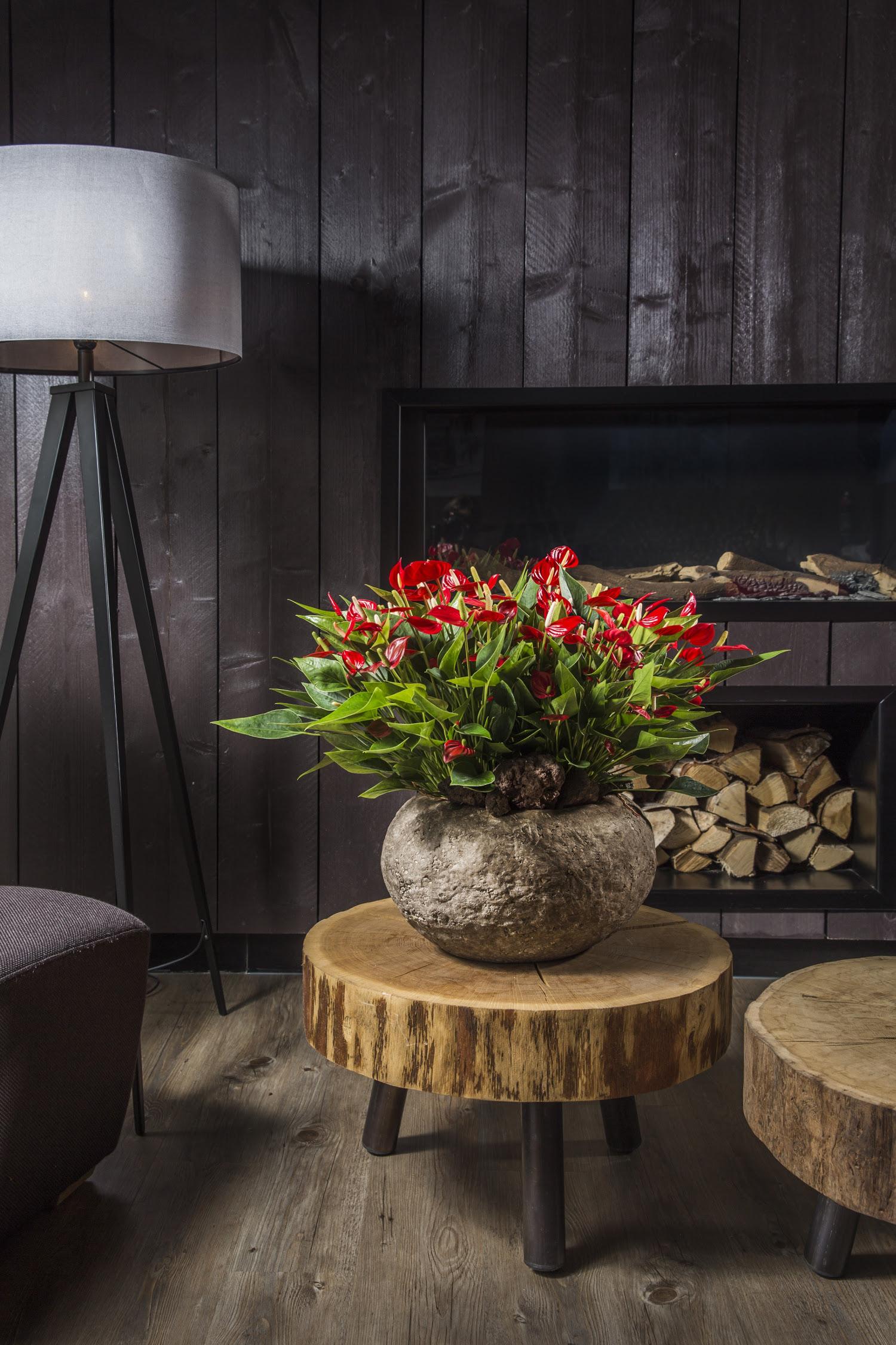 Make The Cut >> All about Anthurium pot plant and cut flower - Anthurium