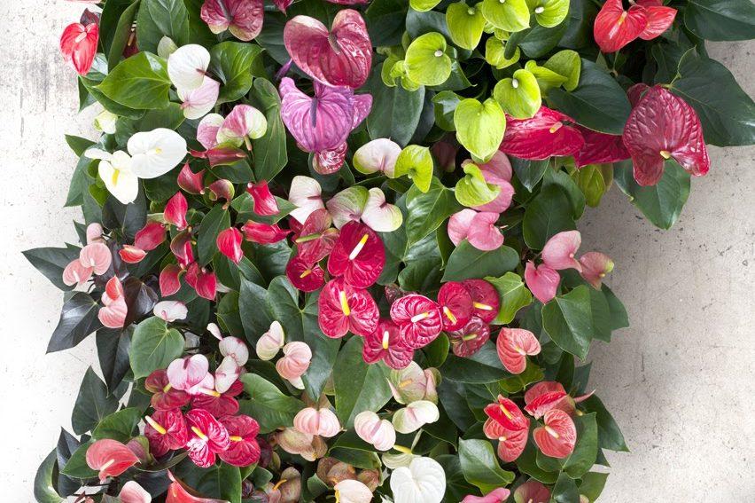 Availability anthurium - Anthurium turenza ...