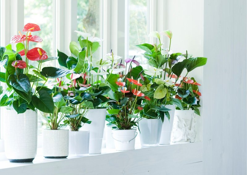 Air-purifying Anthuriums