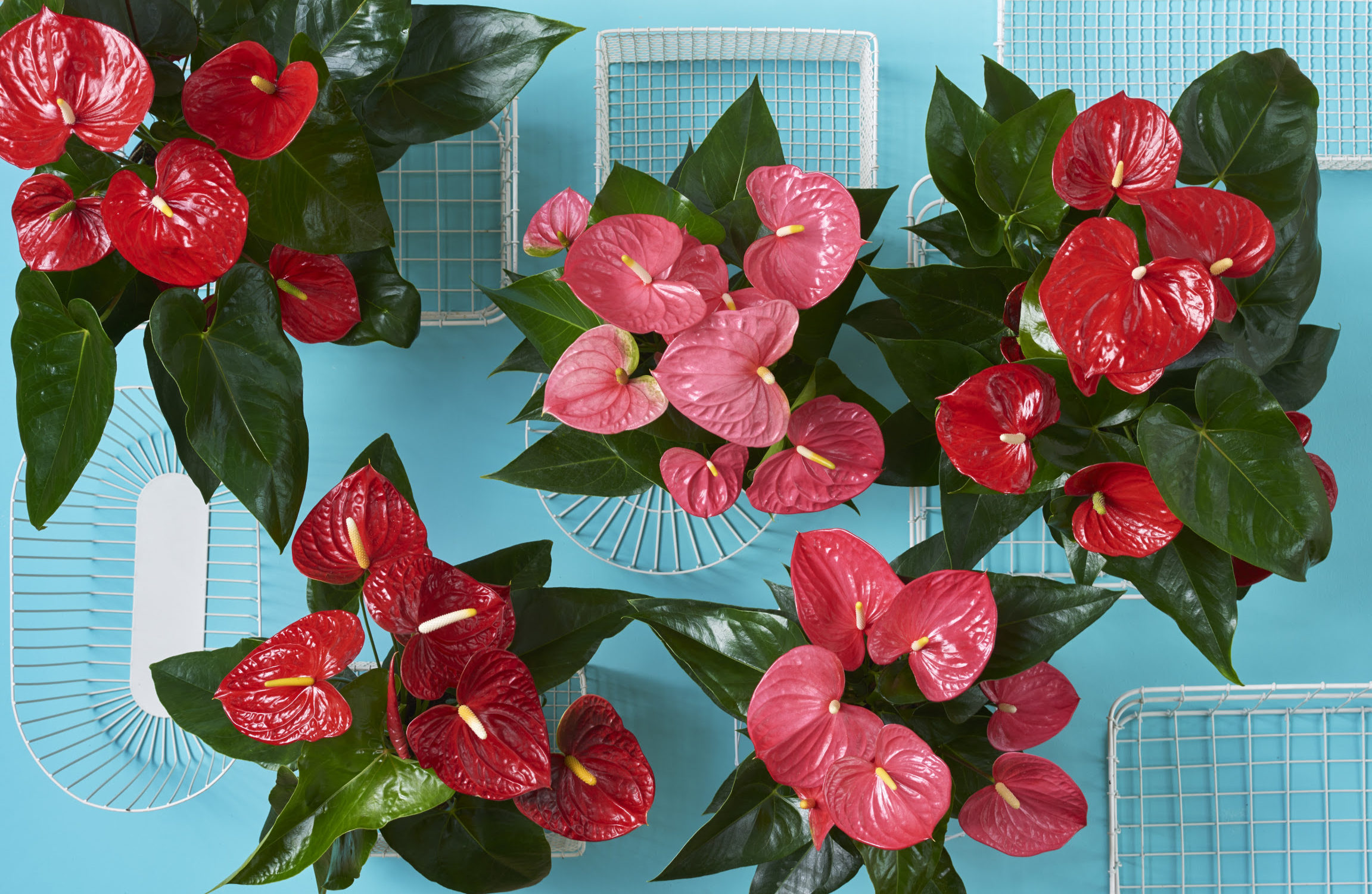 Anthurium info all about anthurium cut flower and pot plant the green trends of 2017 izmirmasajfo