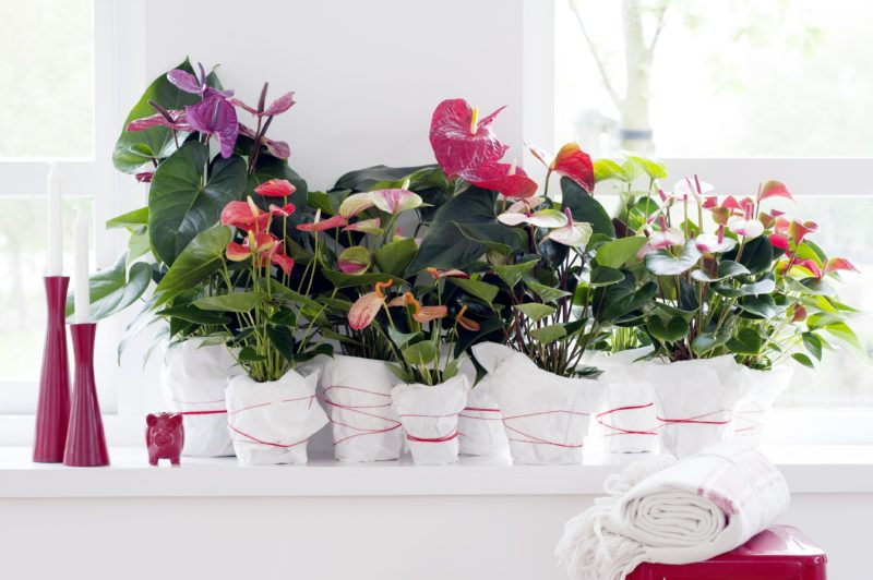 3x the Anthurium like you have never seen before