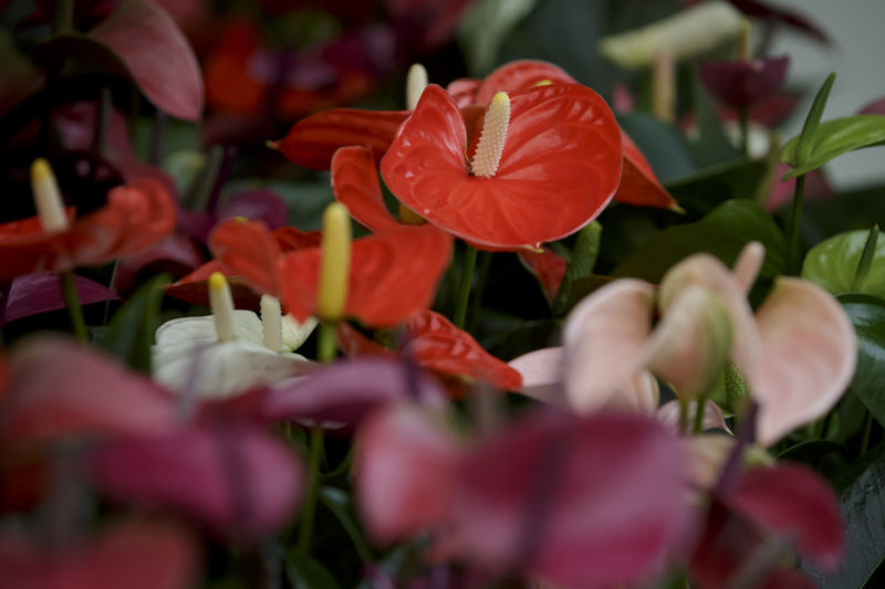 To buy an Anthurium: a few tips