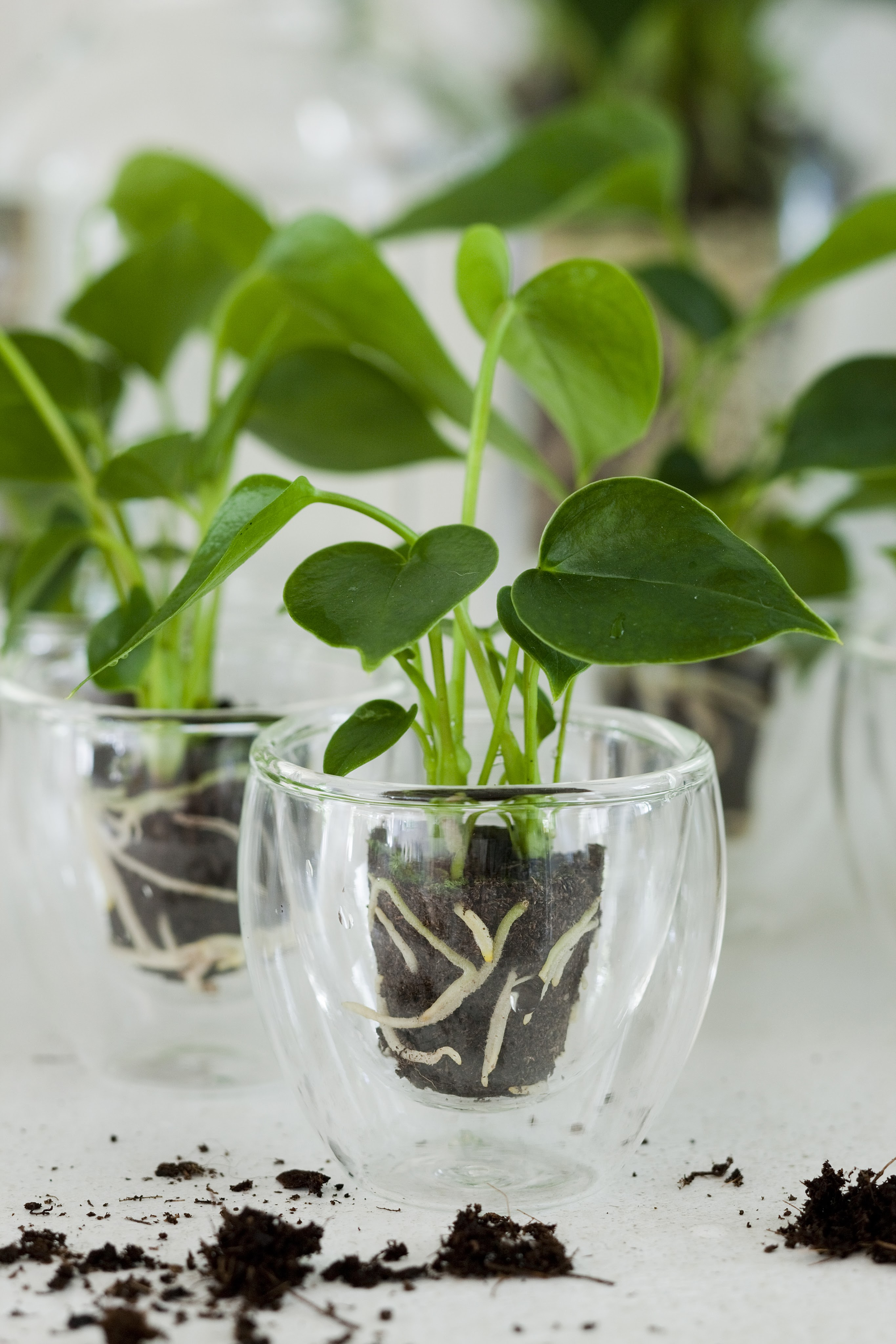 Garden Bush: How To Propagate Anthuriums By Cuttings?