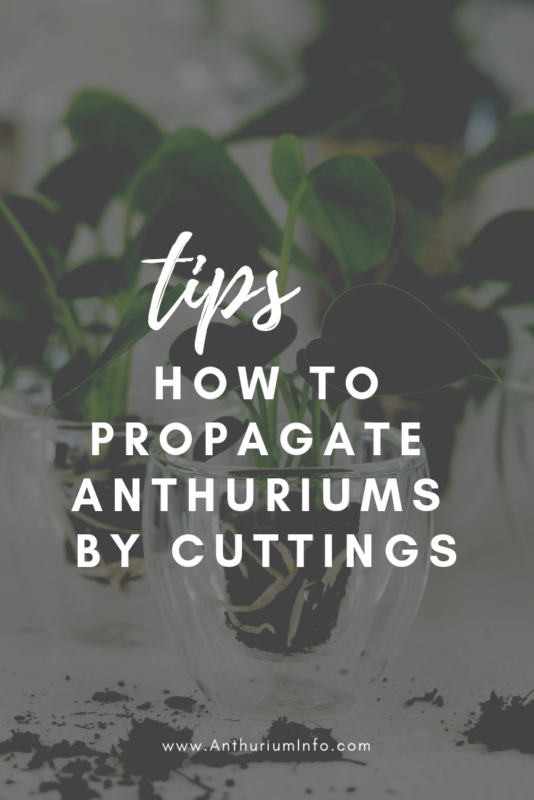 How to propagate anthuriums by cuttings_