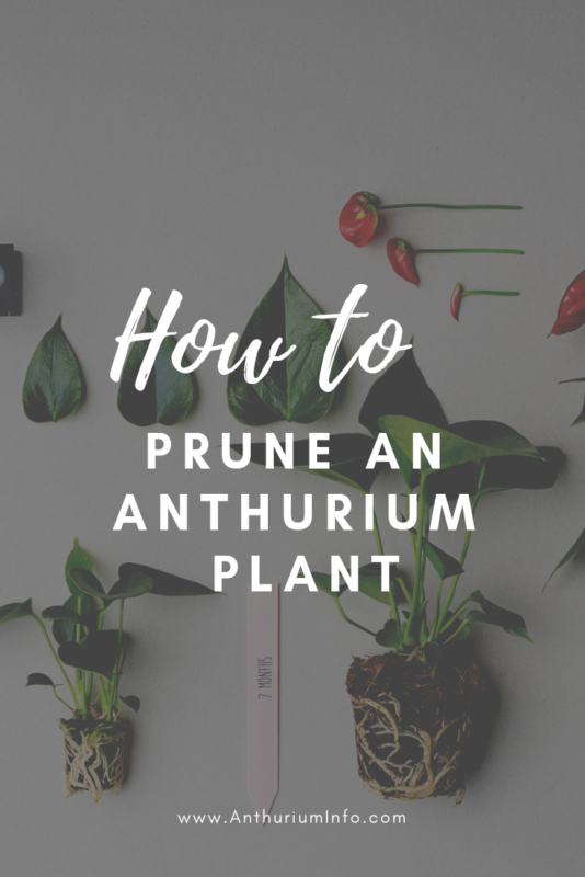 How to prune an anthurium plant