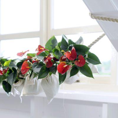 Good-bye Christmas tree, hello Anthurium pot plant!
