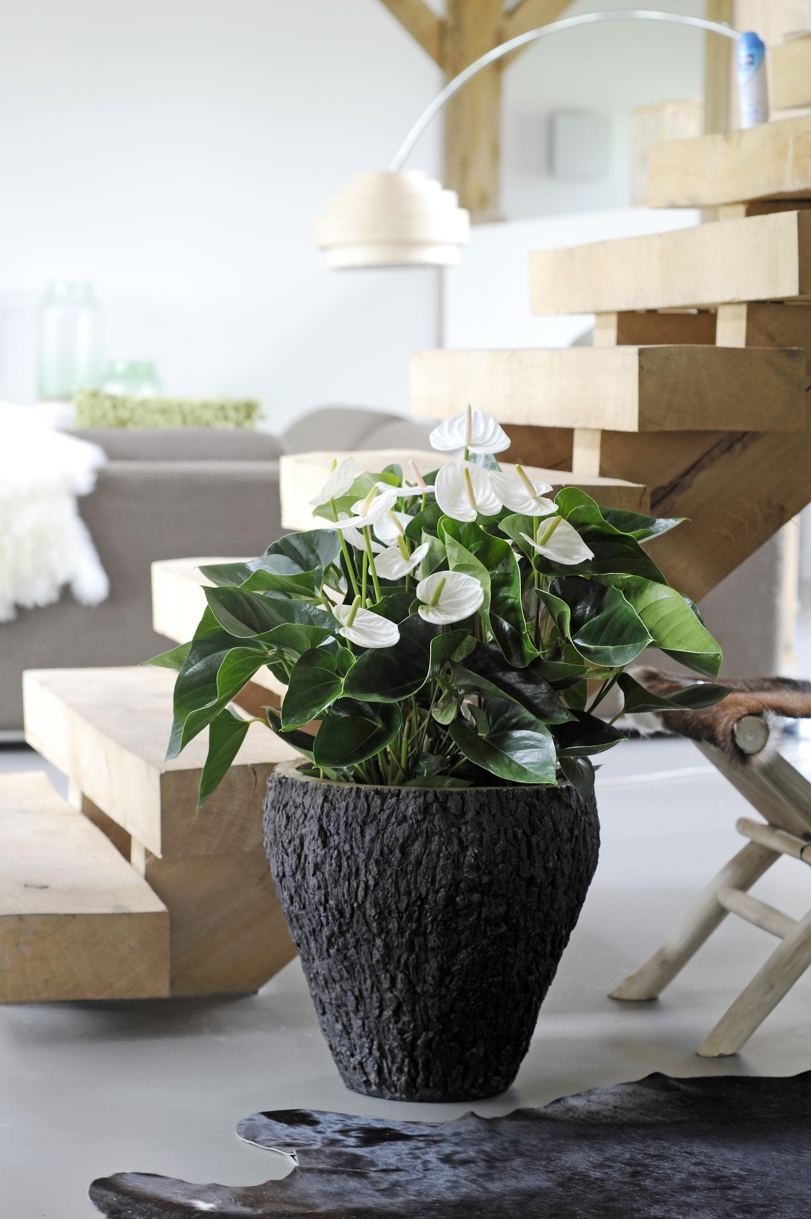 Good-bye Christmas tree, hello Anthurium pot plant ...
