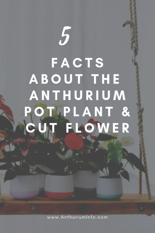 facts about the anthurium pot plant and cut flower