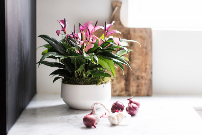 Anthurium potting compost: is it necessary?