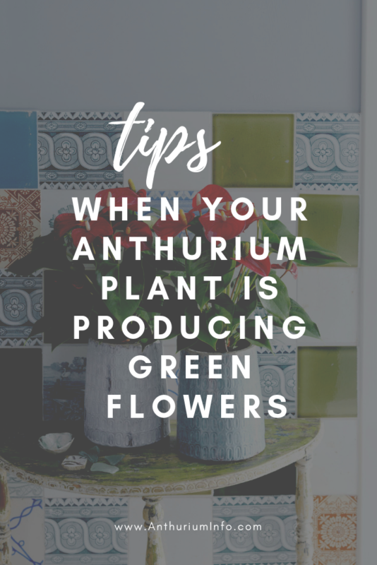 What should I do if my Anthurium plant is producing green flowers_
