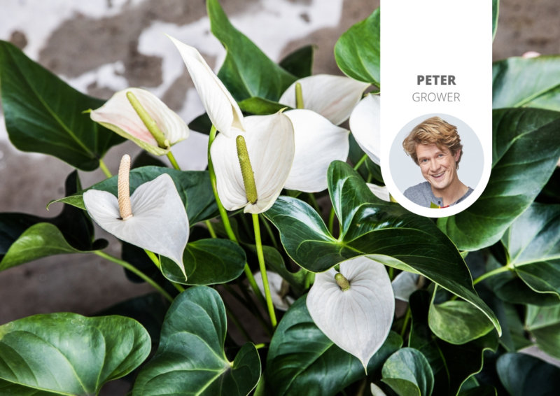 How sustainable are Anthuriums?