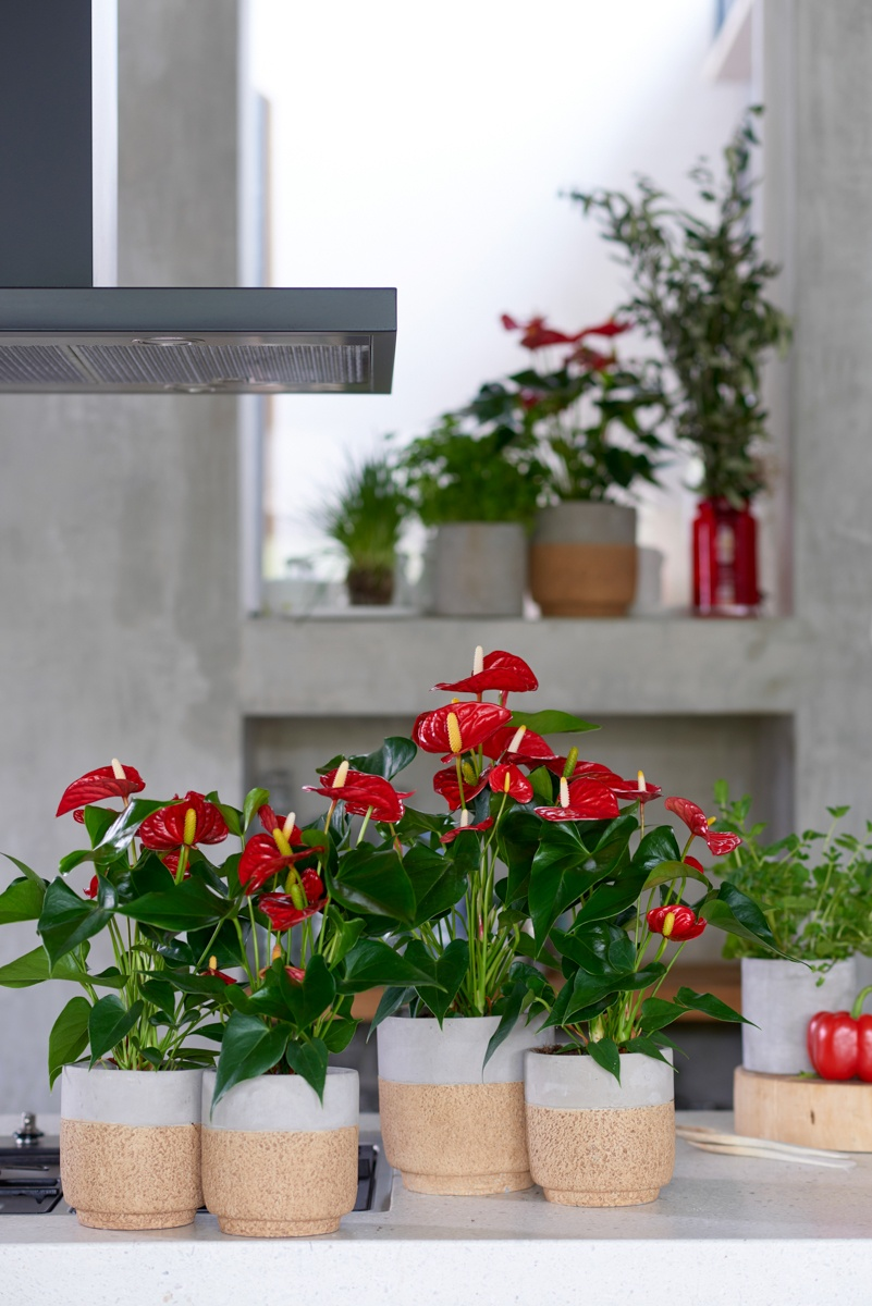 Anthuriums add colour to any kitchen