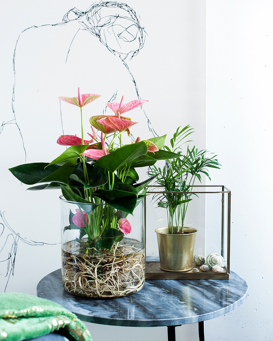 An Anthurium houseplant in water: a DIY project