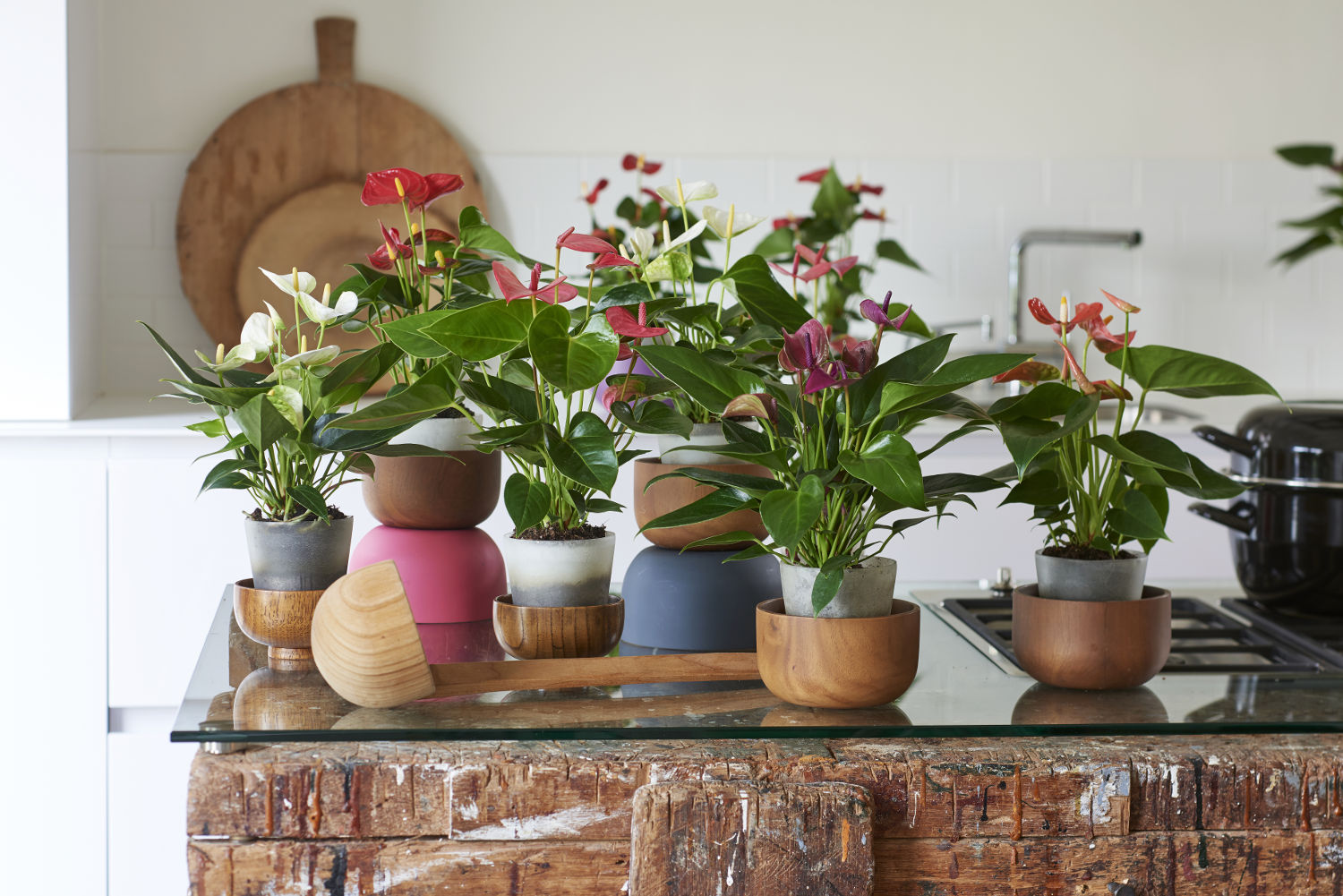 4 ways to style your home with mini Anthuriums