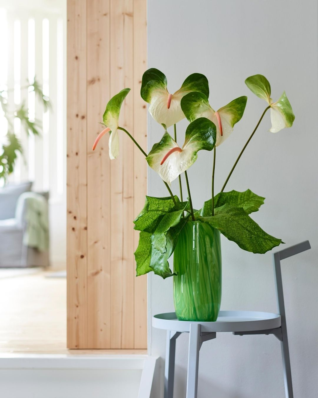 Here are the newest Anthurium plants and flowers