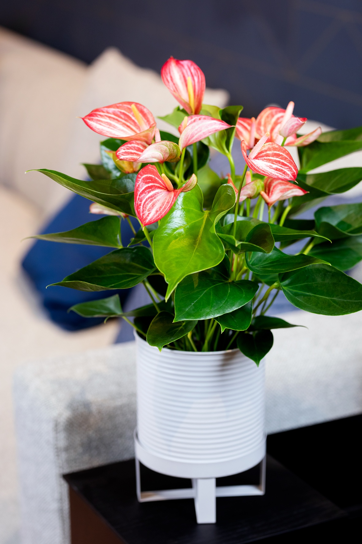 Anthuriums: air purifying & long lasting