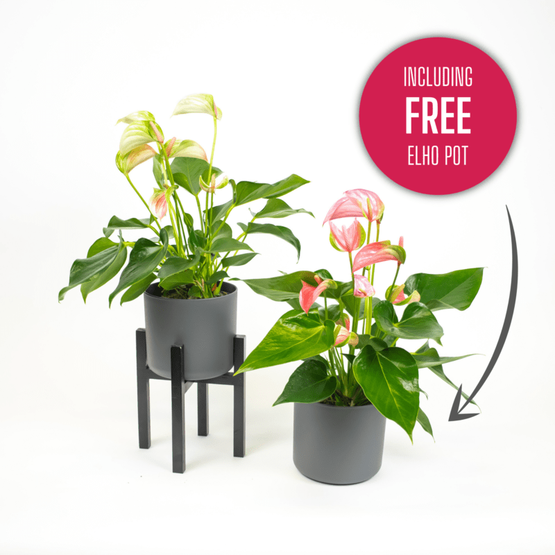 Buy an Anthurium or Bromeliad and receive a free Elho pot