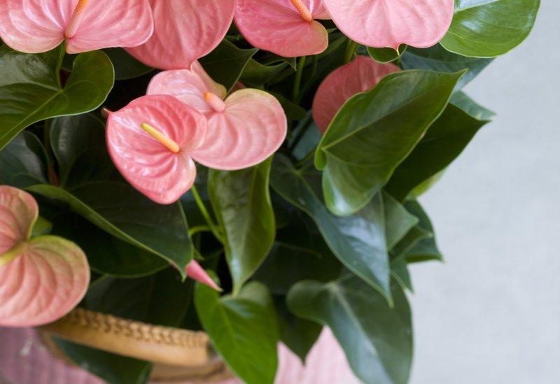 feuilles de votre anthurium