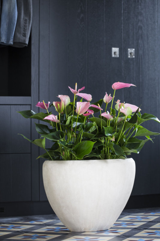 Conseil - comment décorer avec des plantes d'anthurium?