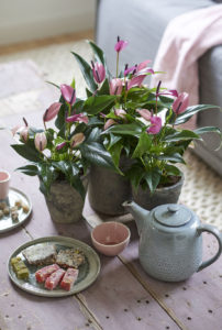 Voici les 10 nouveaux anthuriums, en pot et en fleur coupée