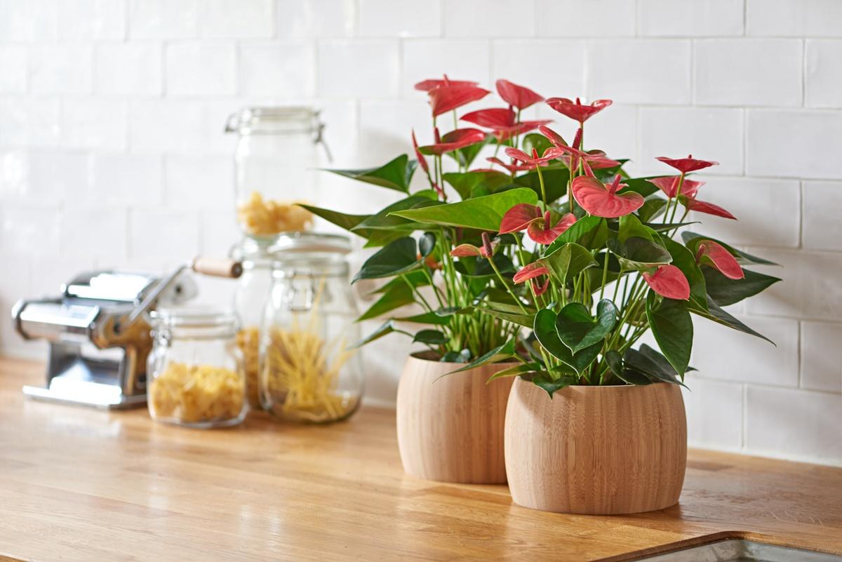 Coup d'œil dans la cuisine : les anthuriums donnent de la couleur à cet espace