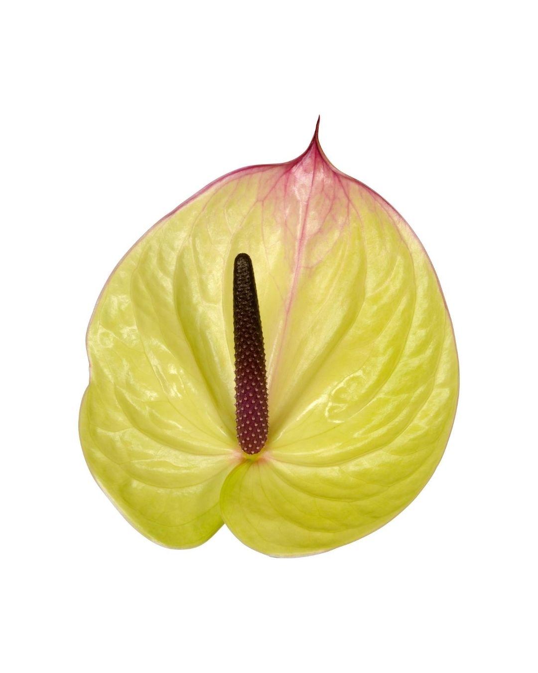 Voici les nouveaux anthuriums, en fleur coupé et en pot