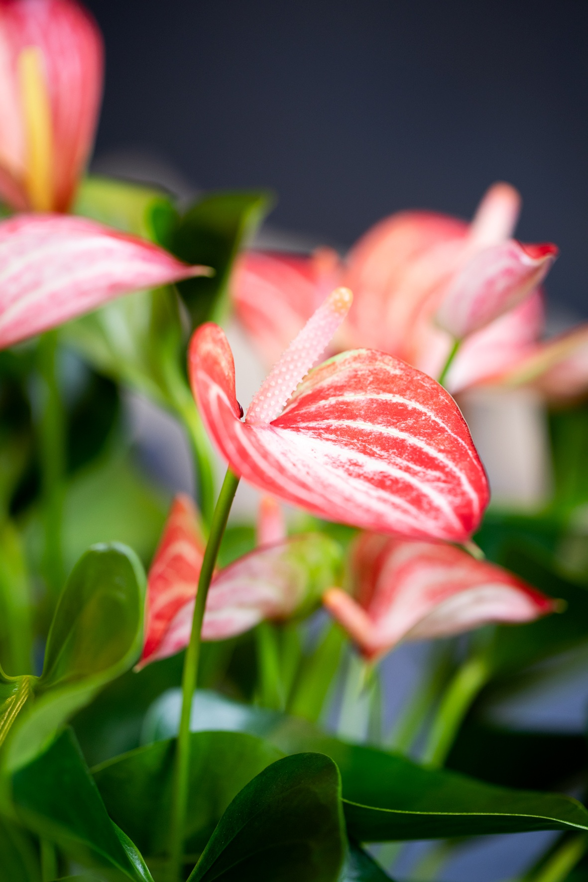 L'anthurium purifient l'air