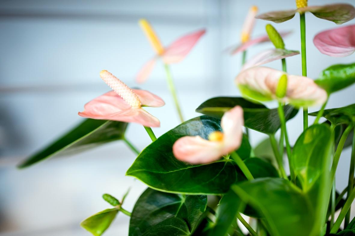 L'anthurium: plante idéale pour le lieu de travail