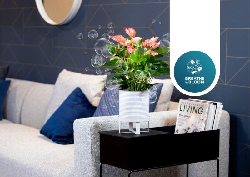 L'anthurium: purifient l'air & fleurissent longtemps