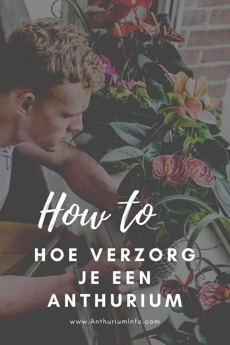 Hoe verzorg ik een anthurium plant en snijbloemen
