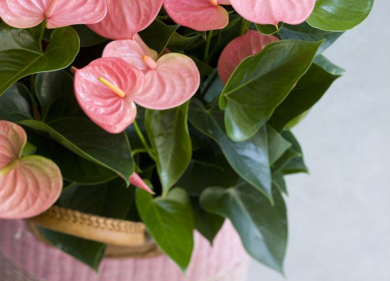 Wat te doen als de bladeren van je anthurium verkleuren?