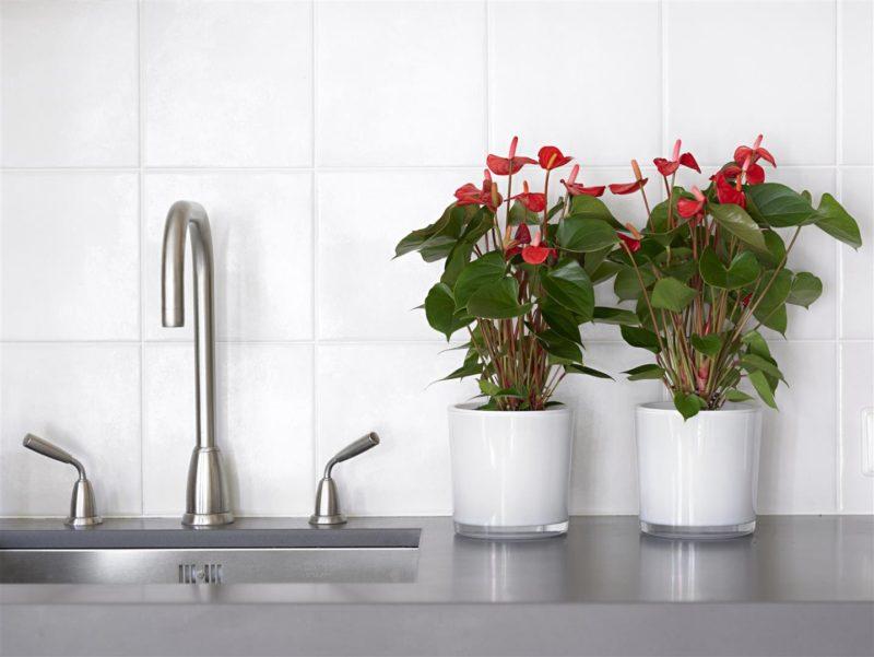 Een anthurium water geven: tips voor planten en snijbloemen