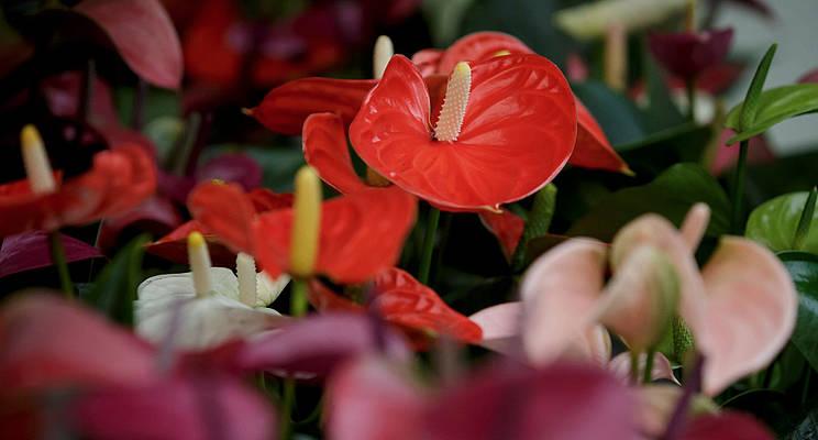 Anthurium kopen: een aantal tips