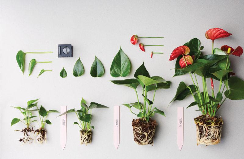 Hoe snoei je een anthurium plant?