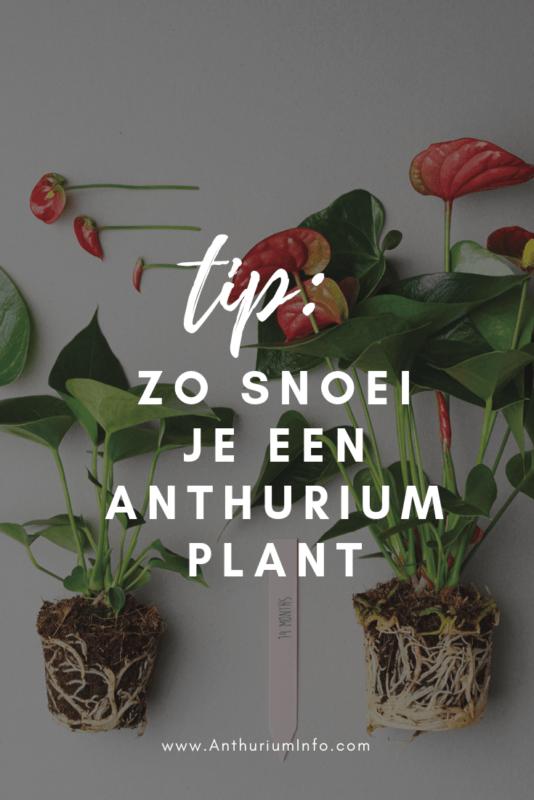 Hoe snoei je een Anthurium plant_
