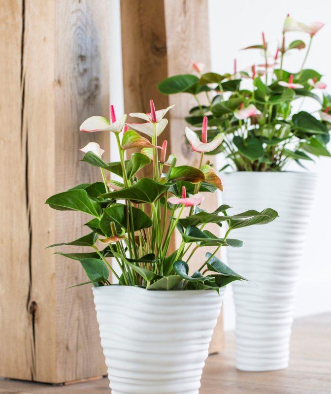 5 interessante feitjes over de anthurium potplant en snijbloem