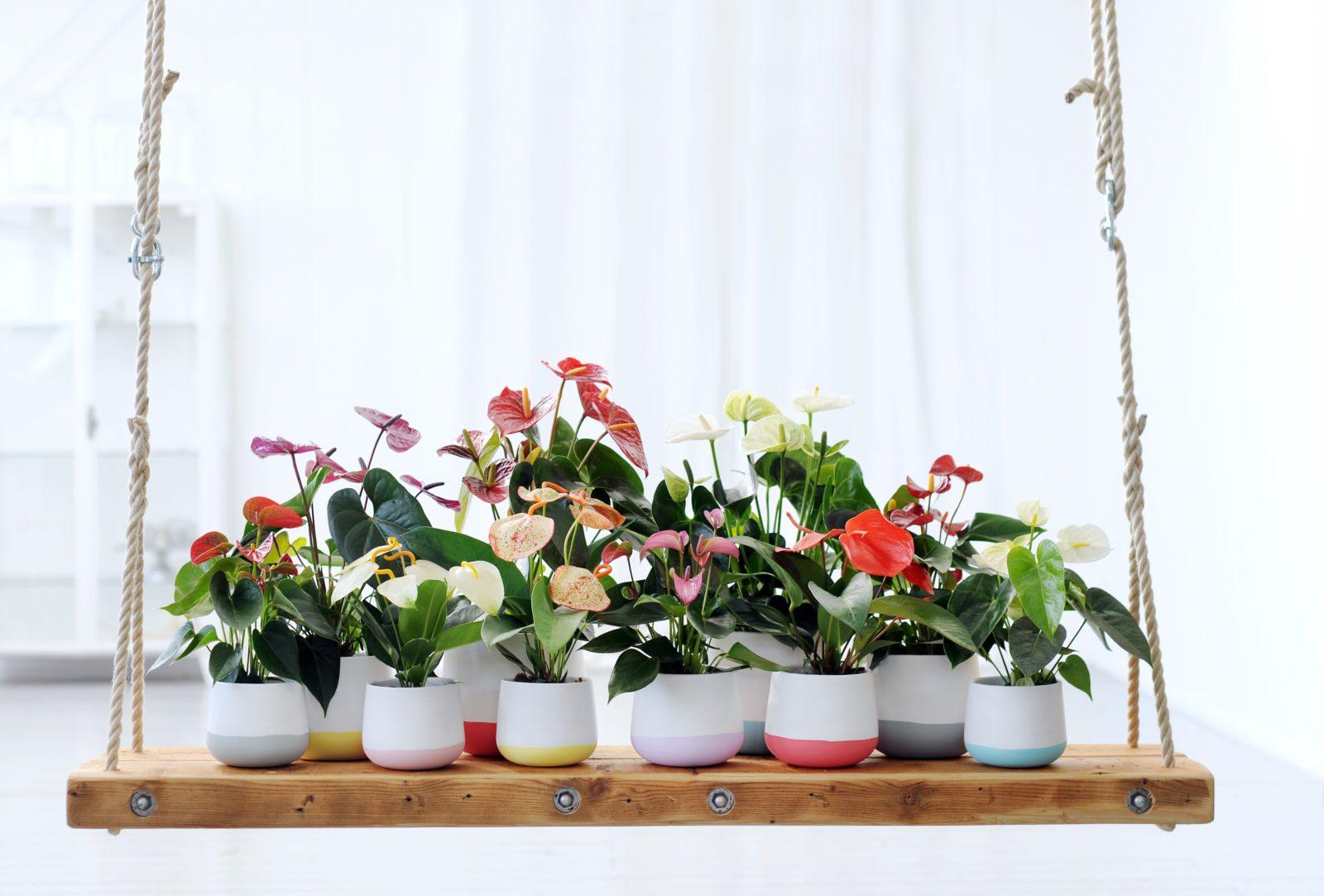 Styling tip: hoe decoreer je met anthurium potplanten?