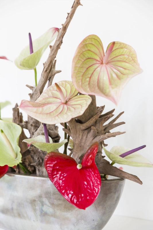 Anthurium generfde bloemen