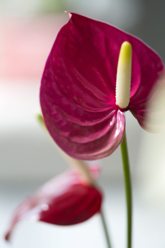 Anthurium Heart-shaped