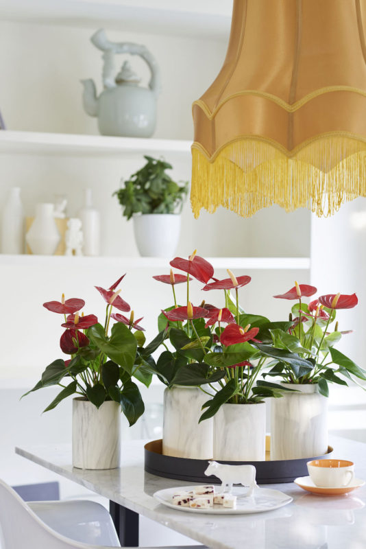 Here are the 10 newest anthuriums for use as pot plants and cut flowers