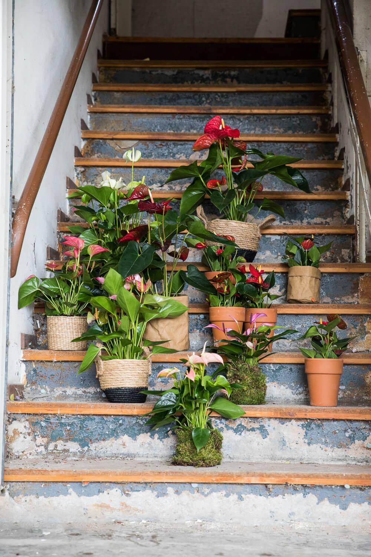 Haal het voorjaar in huis met anthuriums
