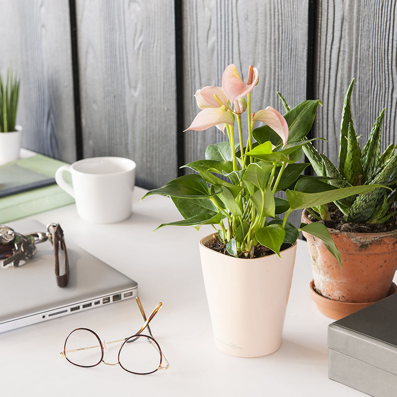 Schreibtisch Pflanze